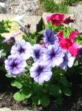 Ogrody, zdjęcia petunia ogrodwej, petunia w ogrodzie