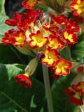 Ogrodnik-amator, opis rośliny, Pierwiosnek lekarski, Primula veris, Common cowslip  uprawa pierwiosnków lekarskich, opis rośliny, Kwiaty wieloletnie, byliny, kwiaty ogrodowe, kwiaty początku wiosny,  kwiaty wiosenne, żółte kwiatki