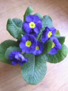 Pierwiosnek doniczkowy, Primula vulgaris, prymulka, Ogrodnik