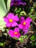 byliny , pierwiosnek gruzinski, pierwiosnki ka w ogrodzie