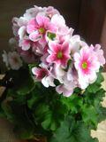 pierwiosnek kubkowaty, wiosenno zimowe dekoracja