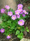 pierwiosnek pruhonicki, byliny wiosenne, kwiaty wieloletnie