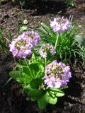Ogrody, zdjęcia pierwiosnków ząbkowanych, pierwiosnek ząbkowany w ogrodzie