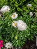 ogród kwiaty ogrodowe , byliny,  kwiaty kwitnące wiosną, byliny, piwonie, piwonia chińska