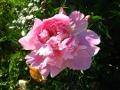 Ogrodnik-amator, opis rośliny, Piwonia chińska,  Paeonia lactiflora, uprawa piwonii, opis rośliny, Kwiaty wieloletnie, byliny, kwiaty ogrodowe, kwiaty pachnące, kwiaty konca wiosny, kwiaty początku lata, kwiaty wiosenno-letnie