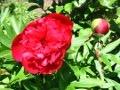 ogród nawożenie, wiosenne nawożenie, nawozimy piwonie