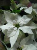 rośliny doniczkowe, pokojowe, poinsecja, gwiazda betlejemska, wilczomlecz nadobny