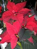 Ogrodnik-amator, opis rośliny, Poinsecja, gwiazda betlejemska, wilczomlecz nadobny, Euforbia pulcherrima, Poinsettia, uprawa gwiazdy betlejemskiej, rośliny doniczkowe, rośliny pokojowe, rośliny kwitnące zimą, rośliny o efektownych liściach przykwiatkowych, rośliny na dekoracje świąteczne