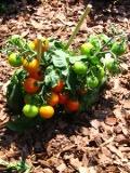 ogród użytkowy, owoce, warzywa zioła, pomidor