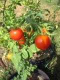 ogród użytkowy, warzywa, pomidor, odmiany pomidora