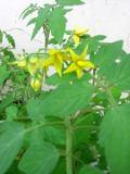 Ogrodnik-amator, opis rośliny, Pomidor zwyczajny, Lycopersicon esculentum, Tomato, uprawa pomidorów,  pomidora, rośliny użytkowe, rośliny warzywne, warzywa, roślina o smacznych owocach, roślina o zdrowych owocach,  warzywo do  ogrodu,  warzywo do uprawy w doniczce, ogród użytkowy, odmiany pomidorów, rosliny o przedłużonej wgetacji, rosliny na dobre gleby, rośliny ciepłolubne, rośliny trudniejsze w uprawie