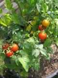Ogrody, zdjęcia rośliny warzywne, warzywa, pomidor, ogród użytkowy