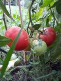 warzywa, pomidor