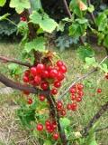 Ogrody, zdjęcia porzeczka czerwona, porzeczki w ogrodzie w ogrodzie