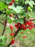 krzewy owocowe, porzeczki, porzeczka czerwona