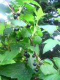 Ogrody, zdjęcia porzeczka czarna, porzeczki czarne w ogrodzie w ogrodzie