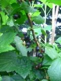 porzeczka czarna, zdjęcia rośliny, galeria roślin opis rośliny