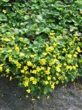 pragnia kuklikowata, zdjęcia rośliny