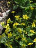 Ogrody, zdjęcia pragnia kuklikowata kwiat, w ogrodzie
