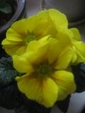 rośliny pokojowe, rosliny doniczkowe, pierwiosnek doniczkowy