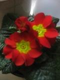 rośliny pokojowe , pierwiosnek doniczkowy, wiosenne dekoracje, wiosna na parapecie
