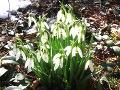 rośliny byliny , kwiaty wiosenne, przebiśnieg, śnieżyczka, rośliny na wiosnę