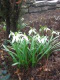 Ogrody, rośliny  cebulowe , przebiśniegi, śnieżyczka
