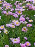 Ogrodnik-amator, opis rośliny, Przymiotno ogrodowe, Erigeron×hybridus, Fleabane daisy, uprawa przymiotna, opis rośliny, przymiotno kwiat