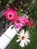 kwiaty balkonowe, przypołudnik stokrotkowy, balkony i tarasy