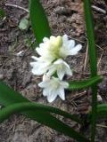puszkinia cebulicowata, zdjęcia rośliny, rośliny na literę p