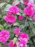 Ogrodnik-amator, opis rośliny, Pysznogłówka ogrodowa, Monarda hybrida, Bergamot, uprawa pysznogłówki, opis rośliny, kwiaty wieloletnie, kwiaty w czerwonym, różowym, filietowoniebieskim i białym kolorze, kwiaty letnie, kwiaty łatwe w uprawie,  kwiaty do ogrodów