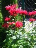 Ogrody, zdjęcia pysznogłówki, pysznogłówka w  ogrodzie