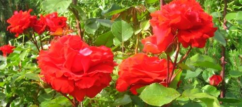 ogrodnik-amator, ogród, róża