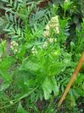 Ogrodnik-amator, opis rośliny, Rezeda wonna, Reseda odorata, Mignonette, uprawa rezedy wonnej, opis rośliny, Kwiat jednoroczny siany wprost do gruntu, niezwykłe kwiaty, kwiatostany w kształcie  kłosa, kwiaty pachnące, kwiaty  zielonożółte, kwiaty letnie