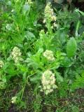 kwiaty jednoroczne, pachnące, rezeda wonna