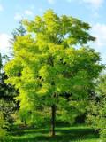 Ogrodnik-amator, opis rośliny, Robinia akacjowa, grochodrzew biały, robinia biała, grochodrzew akacjowaty, Robinia pseudoacacia, uprawa robinii akacjowej, opis rośliny, akacja drzewo