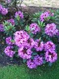 Ogrody, zdjęcia różanecznik, rododendrony w ogrodzie w ogrodzie