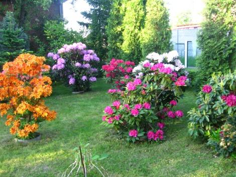 różaneczniki i azalie, kompozycje z rododendronów, różaneczniki, maj, rośliny ozdobne, aranżacje, ogród, urządzanie ogrodu