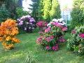 Ogrody, zdjęcia rózanecznikow i azalii rododendrony w ogrodzie