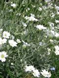 kwiaty wieloletnie rogownica