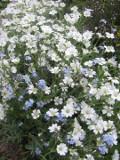 Ogrodnik-amator, opis rośliny, Rogownica kutnerowata, Cerastium tomentosum, Snow-in-summer, uprawa rogownicy kutnerowatej, kwiaty, rogownica kwiat