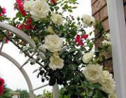 krzewy ogrodowe, ozdobne Róża pnaca, biała Iceberg, róża kwiat, roślina