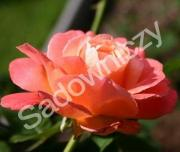 krzewy ogrodowe, ozdobne Róża rabatowa łososiowa Aprikola, róża kwiat, roślina
