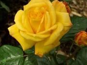 krzewy ogrodowe, ozdobne Róża wielkokwiatowa Żółta typu Monika Gold, róza kwiat, róza roślina