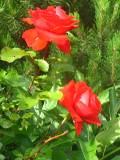 letnia pielęgnacja róż, krzewy ogrodowe, ozdobne róża, róże
