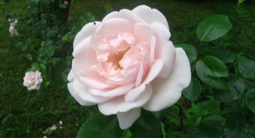 wiosna w ogrodzie, ogród , rośliny do ogrodu, choroby róż, ogrodnik-amator.pl