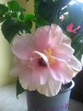 KWIATY doniczkowe, róża chińska, hibiskus