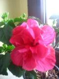 Ogrodnik-amator, opis rośliny, Róża chińska, ketmia, Hibiscus rosa-sinensis, Chinese hibiscus, China rose, uprawa rózy chińskiej, roślina pokojowa, roślina doniczkowa, krzewy ozdobne z kwiatów, rośliny łatwe w uprawie, krzewy kwitnące, o małych wymaganiach, duże kwiaty,  krzewy liściaste, rośliny ozdobne