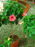 róża chińska, ketmia,Hibiscus rosa-sinensis, rosliny pokojowe, rośliny doniczkowe