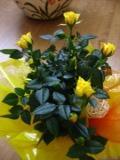róża miniaturowa, Rosa chinensis minima, rośliny doniczkowe, rośliny pokojowe